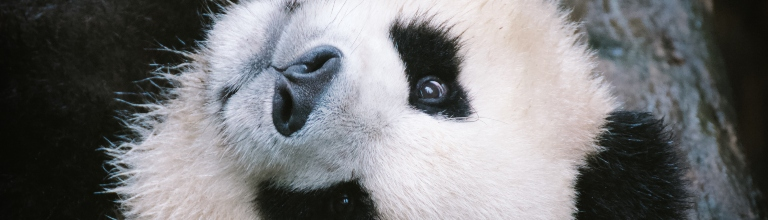 Close up of the face of a giant panda.